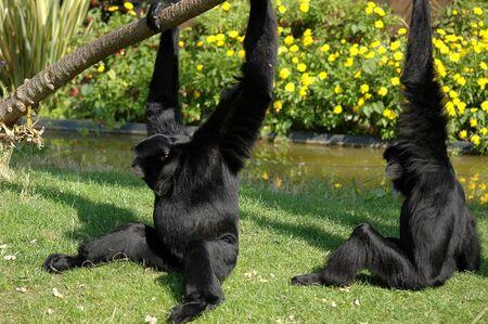 Dos monos negros Foto de archivo - 376002