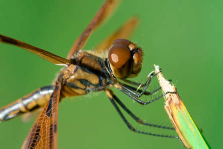 anisoptera: A close up of a beautiful and brown dragonfly. Stock Photo