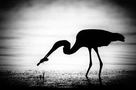birdlife: Silhouette of an egret catching a fish, Merritt Island, Titusville, Brevard County, Florida, USA