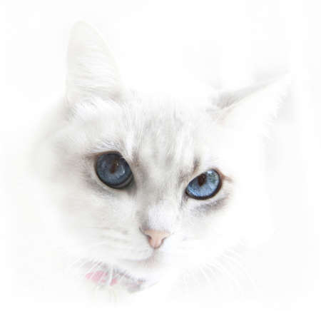 blue eyed: Portrait of cute white cat with blue eyes.