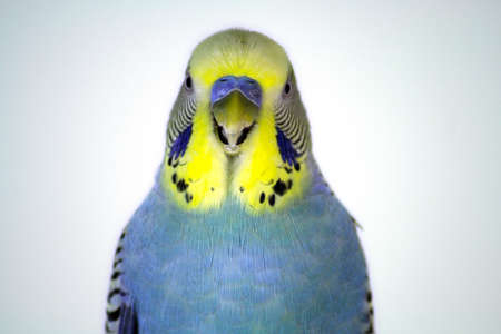 budgie: Closeup of a yellow and blue parakeet. Stock Photo