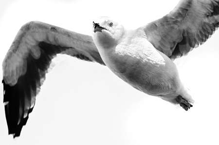 birdlife: Low angle view of a seagull flying, Pier 39, San Francisco, California, USA Stock Photo