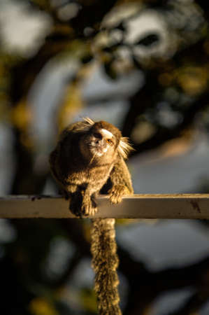 Sagui Monkeys are friendly hand sized little monkeys that are found in the tropical coastal rainforest, Morro De Leme, Rio De Janeiro, Brazil photo