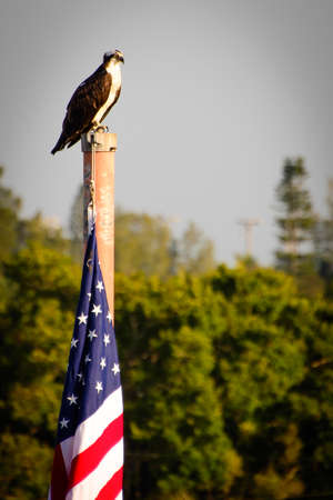 birdlife: Bald Eagle perching on the pole with American flag, Fort Myers, Lee County, Florida, USA