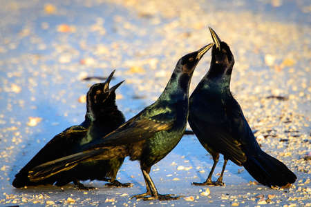 photography themes: Close-up of three black birds, Fort Myers, Lee County, Florida, USA Stock Photo
