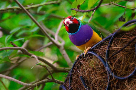 birdlife: Low angle view of a Gouldian Finch (Erythrura gouldiae) in its nest, Key West, Monroe County, Florida, USA