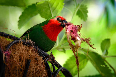 birdlife: Close-up of a Red-headed Parrotfinch (Erythrura pealii) in its nest, Key West, Monroe County, Florida, USA Stock Photo