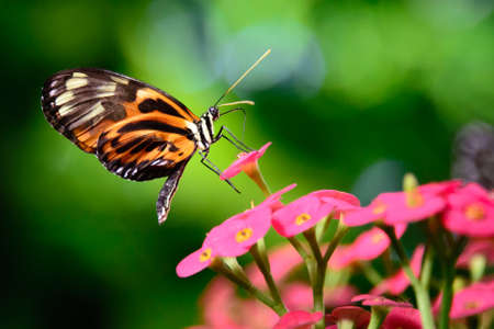 Tiger Swallowtail pollinating a flower, Key West, Monroe County, Florida, USA photo