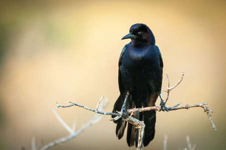 birdlife: Close-up of a blackbird perching on a twig, Merritt Island, Titusville, Brevard County, Florida, USA
