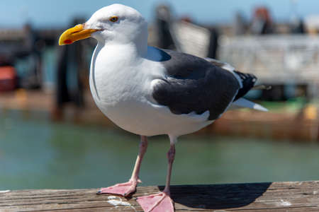 View of seagull at Pier in foregorund at Fisherman's Wharf, San Francisco, California, United States. in sunny day Reklamní fotografie
