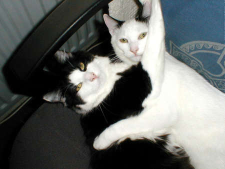 brotherly love: Two black and white cats, brotherly love