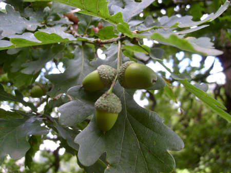 english oak: Three acorns growing on English oak tree Stock Photo