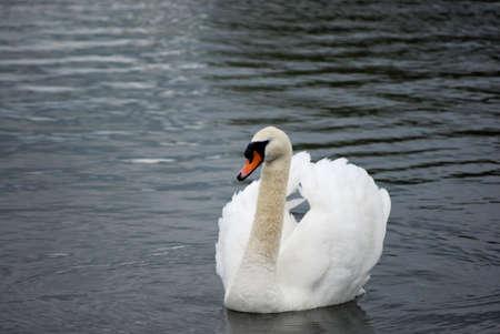 hiss: swan