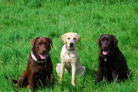 Three labradors Stock Photo