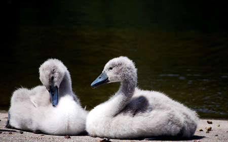 ugly duckling: signets