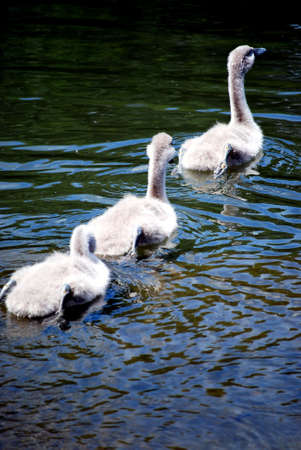 ugly duckling: swimming signets Stock Photo