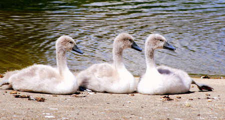 ugly duckling: three  swans