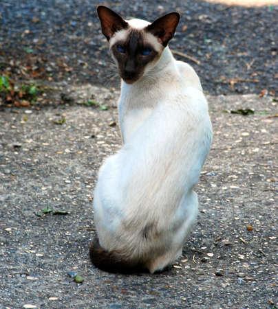 moggy: siamese cat