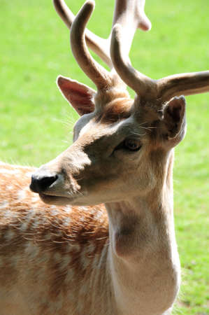 male fallow deer photo
