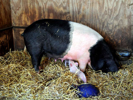 berkshire: Rare Berkshire pig and piglet