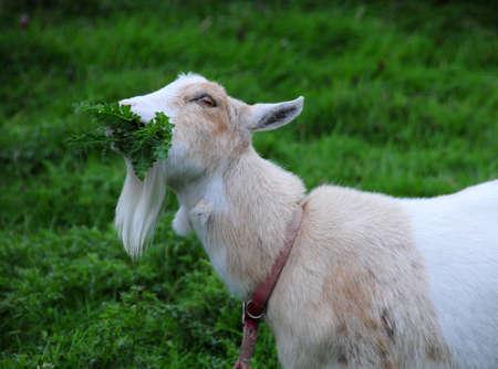 pygmy goat: pygmy goat eating vegetation