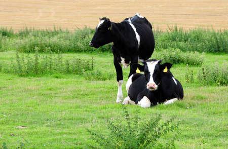 fresian: fresian cows Stock Photo