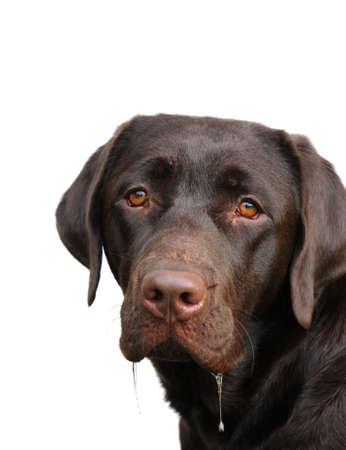 dribble: drooling chocolate labrador