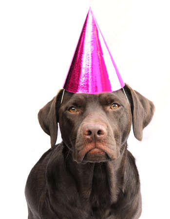labrador in party hat Stock Photo