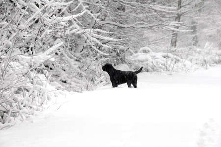 snow drift: Labrador in the forest Stock Photo