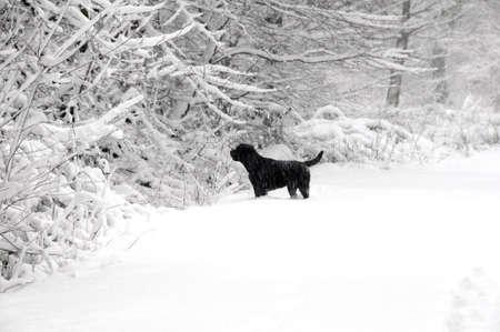labrador christmas: Labrador in the forest Stock Photo