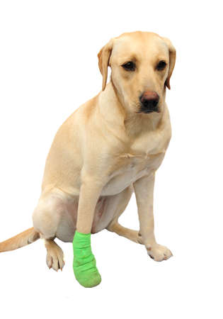 Labrador with poorly foot