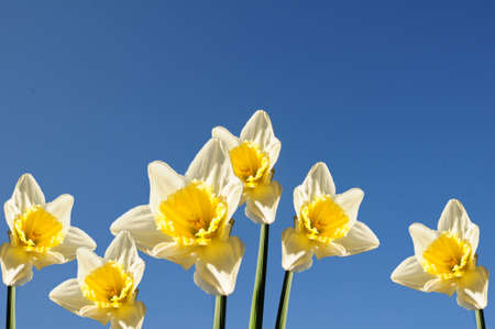 daffodils against blue sky photo
