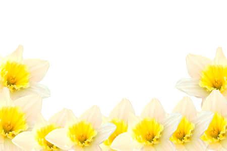 daffodils: daffodil border Stock Photo