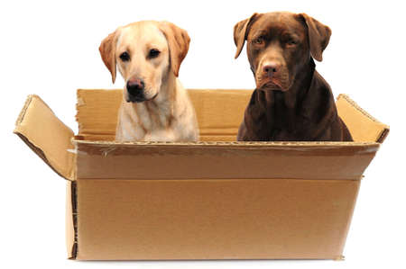 two labradors in a box photo