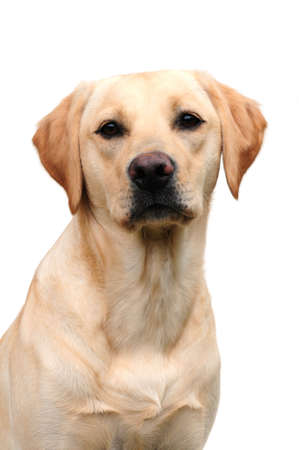 yellow yellow lab: adorable labrador Stock Photo