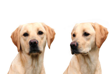 Double trouble, two labrador sisters photo