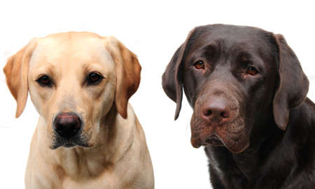 Two lovely labs Stock Photo
