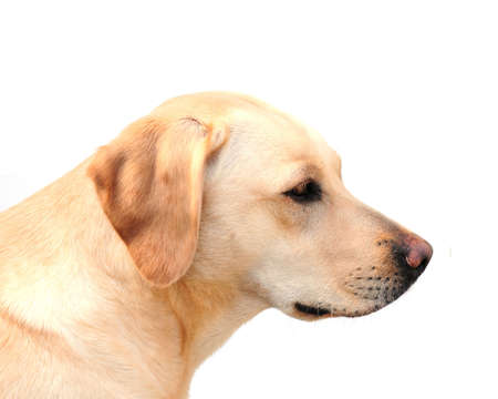 labrador retriever photo