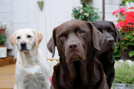 three labradors photo