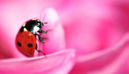 ladybug on pink petals photo