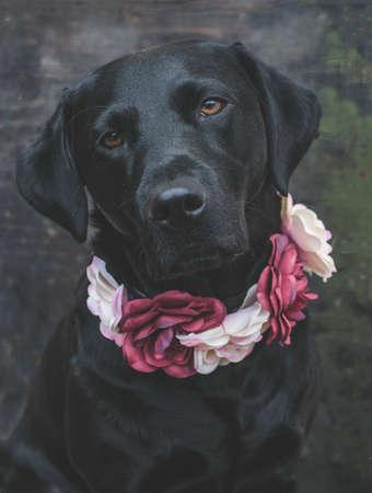 black: black labrador