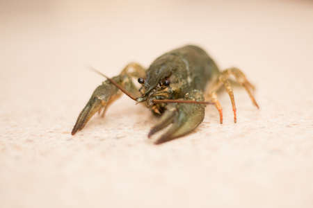 nutrition Live Crayfish on a marble table Stock Photo