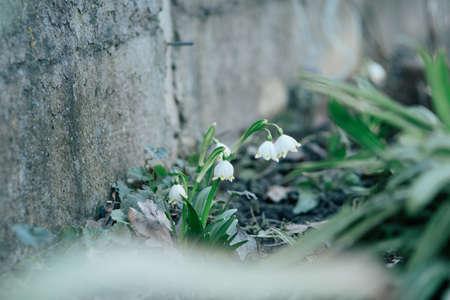 springwater: SNOWDROP - Spring flowers in city park