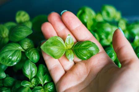 Genovese basil (Ocimum basilicum) seedling plant close up Stock Photo