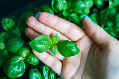 In the hands of a woman densely sown The seedlings of the basilica are one month old, an organic texture made from fresh greens. Concepts of Vocal Organic Nutrition Stock Photo