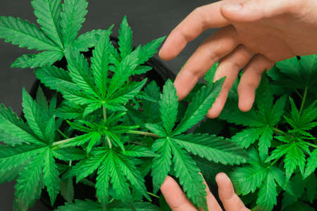 Marijuana leaves, cannabis on a dark background, beautiful background, indoor cultivation Banque d'images
