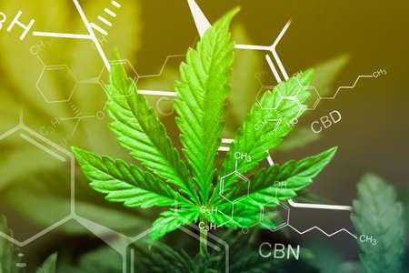 Una hermosa hoja de marihuana cannabis en el desenfoque con la imagen de la fórmula THC CBD CBN resumen Con exposición