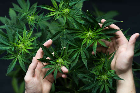 A large number of cannabis flowers the hands of a man