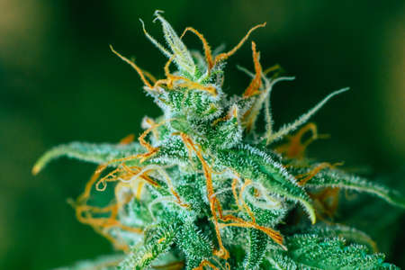 Concepts legalizing weed Beautiful buds before harvest. cannabis grow indoor Macro shot sugar trichomes cbd thc concepts of grow and use of marijuana medicinal purposes.
