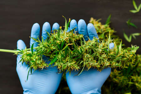 A large bud of fresh cannabis harvest in the hands of a male grover concepts of cultivating medical of marijuana Stock fotó